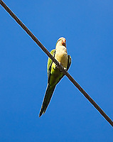 An escapee from the pet trade, large colonies of monk parakeets can be found in many places, like this one in the Cortez area of Bradenton in Manatee County, Florida.