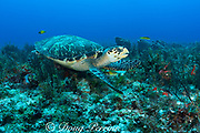 hawksbill sea turtle, Eretmochelys imbricata ( Endangered Species ), with commensal yellow-tail wrasse swimming underneath, Tortuga Reef, Playa del Carmen, Cancun, Quintana Roo, Yucatan Peninsula, Mexico ( Caribbean Sea )