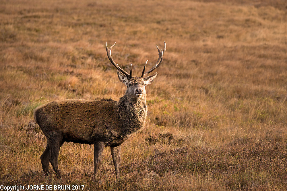 A wild male Red Deer in Sutherland, Scotland.