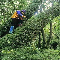 CORDILLERA SARMIENTO, PATAGONIA, CHILE. Jack Miller (MR) collects plant samples on mossy trunk of huge southern beech tree in rain forest of previously unexplored range at southern tip of the Andes.