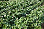 Potato crop grown for sale in supermarkets, near Holkham, United Kingdom