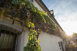 The Old Vine grows by the Old Vine House in Maribor. Modra kavcina or Bleu de Cologne is more than 400 years old and it is listed in the Guinness Book of Records as the oldest vine in the world still producing fruit. Pictured on 22nd of September in Maribor, Slovenia.  Photo by Milos Vujinovic / Sportida