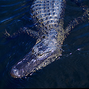 An American alligator (alligator mississippiensis) on the hunt in Everglades National Park, FL.