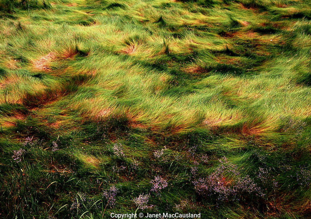 Sea Lavendar blooms amid cow-licks in the spartina marsh grass in Massachusetts.