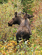 A mother moose and calf browse in Granite Canyon, Grand Teton National Park, Wyoming, USA