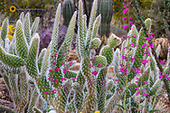 Wooly Jacket Prickly Pear Catus and Penstemon at the Arizona Sonoran Desert Museum in Tucson, Arizona, USA