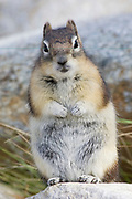 Golden-Mantled Ground Squirrel standing on it's hind legs (Spermophilus lateralis) Jasper National Park, Canada