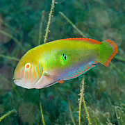 Green Razorfish inhabit shallow areas of sand and rubble in Tropical West Atlantic; picture taken St. Vincent.