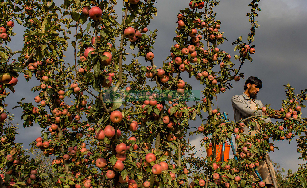 September 30, 2018 - Tral, Jammu and Kashmir, India - A Kashmiri farmer pick fresh apples from a tree in an orchard during harvesting season on October 1, 2018 in Tral, south of Srinagar, the summer capital of Indian administered Kashmir, India. Apple harvest is at its peak, but farmers are saying that the prices this year have slumped in major markets across India. To add to their disadvantage are the rising freight rates by the truckers who ferry them to Indian markets. (Credit Image: © Yawar Nazir/ZUMA Wire)