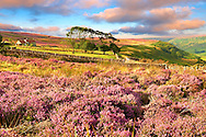 Heather blooming on the Fryup Dale moor. North Yorks National Park, North Yorkshire, England .<br /> <br /> Visit our MEDIEVAL PHOTO COLLECTIONS for more   photos  to download or buy as prints https://funkystock.photoshelter.com/gallery-collection/Medieval-Middle-Ages-Historic-Places-Arcaeological-Sites-Pictures-Images-of/C0000B5ZA54_WD0s