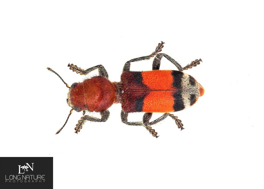 Enoclerus ichneumoneus - Orange Banded Clerid Beetle.  This is a velvet ant mimic.  Lady Lake, Florida USA.