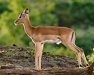 Impala fawn pauses in a pretty forest break, Chobe National Park, © David A. Ponton