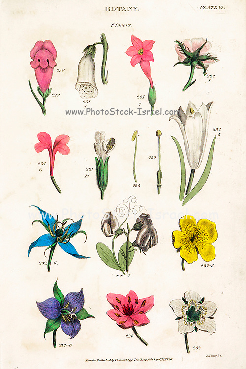 """Hand drawn flowers part of Botanical images depicting the Linnean Classification system [Carl Linnaeus (23 May 1707 – 10 January 1778), also known after his ennoblement as Carl von Linné was a Swedish botanist, zoologist, taxonomist, and physician who formalised binomial nomenclature, the modern system of naming organisms. He is known as the """"father of modern taxonomy"""". Many of his writings were in Latin, and his name is rendered in Latin as Carolus Linnæus (after 1761 Carolus a Linné). Published by T. Tegg in London in 1826"""