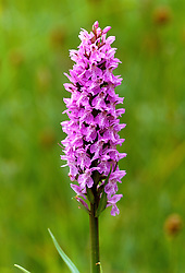 Dactylorhiza fuchsii syn. D. maculata subsp. fuchsii  - Common spotted orchid - dark form - growing in the meadow at Great Dixter