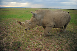 """In December of 2009, the Lewa Conservancy in Kenya airlifted the last four breeding age Northern White Rhinos from Prague's Dvur Kralove Zoo in the Czech Republic 4000 miles away to live """"freely"""" at the Ol Pejeta Conservancy in Kenya. The Northern White Rhino is considered by scientists to be nearly extinct. As of 2009, there are only 8 Northern White Rhinos living in the world. Scientists hope that in Africa, the temperance in climate and the room to roam will entice them to breed and establish a nucleus for potential re-population. (Photo by Ami Vitale)"""
