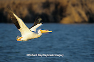 00671-00514 American White Pelican (Pelecanus erythrorhynchos) in flight Port Aransas Birding Center   TX