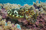 Reef cuttlefish (sepia latimanus) on coral reef  - Agincourt reef, Great Barrier reef, Queensland, Australia. <br /> <br /> Editions:- Open Edition Print / Stock Image