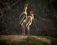 Painted Stork. Bharatpur-- Keoladeo Ghana National Park, Rajasthan, India. Image taken with a Nikon 1 V3 camera and 70-300 mm VR lens.