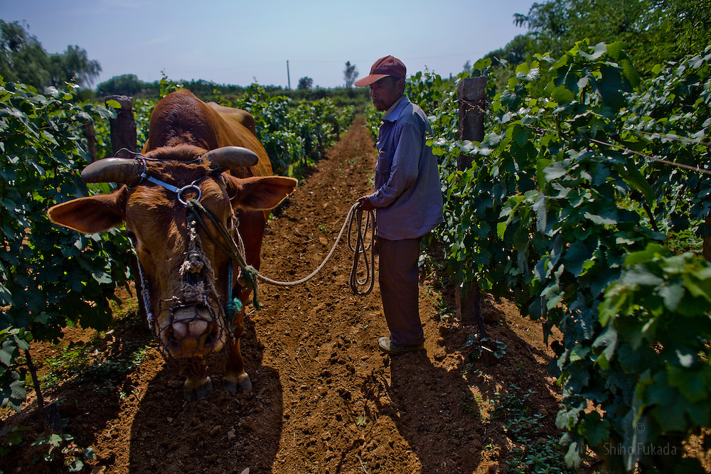 A farmer makes his way through grape trees with a cow in the Huadong Winery in Qingtao, China, June 23, 2009.