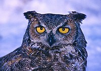 The bright yellow eyes of a Great Horned Owl, (Bubo virginianus).