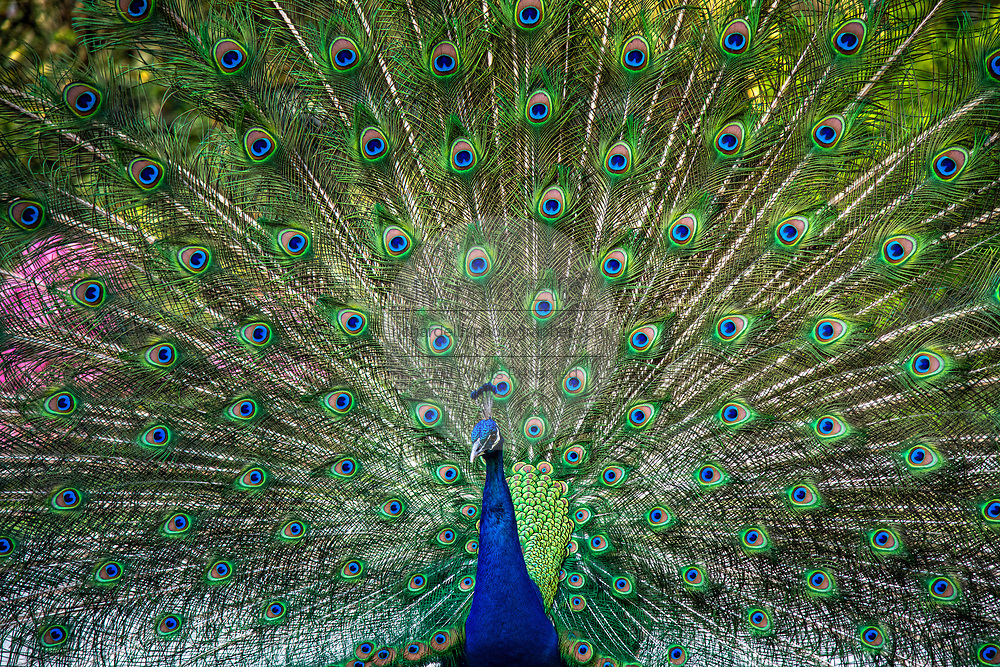 A male Indian peacock fans his tail in a full courtship display during spring at Magnolia Plantation in Charleston, South Carolina. The plantation and gardens were built in 1676 by the Drayton Family and remains under the control of the Drayton family after 15 generations.
