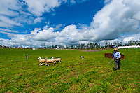 A sheep dog trials competition, Clevedon Village Agricultural and Pastoral Society Show, Clevedon (near Auckland), North Island, New Zealand