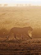 Young Lion, Amboseli National Park, Kenya