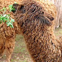 Americas, South America, Peru. Alpaca Huacaya, bred for their fibrous hair used in weaving textiles, at Awana Kancha in the Urubamba Valley of Peru.
