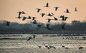 Sandhill Cranes On The Platte