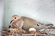 mourning Dove, bird, nest
