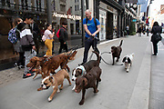 Dog walker with seven dogs of many different breeds on New Bond Street in Mayfair, London, England, United Kingdom. Bond Street is one of the principal streets in the West End shopping district and is very upmarket. It has been a fashionable shopping street since the 18th century. The rich and wealthy shop here mostly for high end fashion and jewellery.