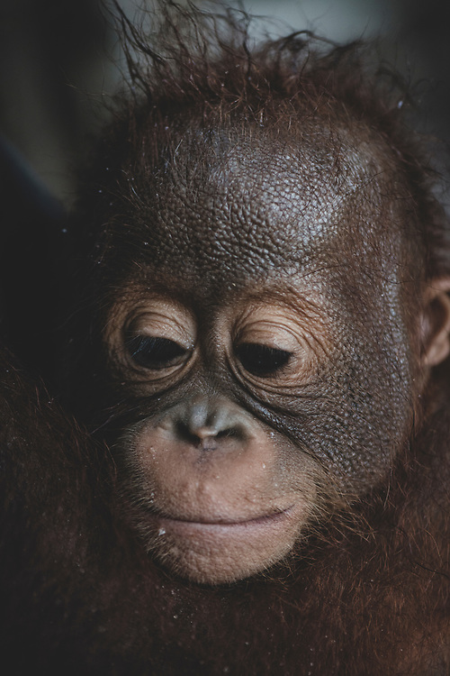 Central Kalimantan, Indonesia - March 11, 2017: Close-up of a young orphaned orangutan in Central Kalimantan, Indonesia.