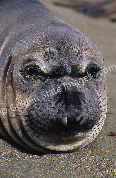 Largest of all seals. The species was hunted nearly to extinction for its oil. By the late 1800s there were fewer than 20 known individuals remaining.<br /> <br /> Elephant Seals are among the deepest diving marine mammals. Bulls have been documented to dive to depths of over 2600 feet and stay submerged for over 20 minutes.<br /> <br /> Mature males are covered with scars from their battles with other bulls for dominance over the females on their section of beach.<br /> <br /> Bulls can weigh up to 5000 pounds and are up to 15 feet in length.<br /> <br /> Male or bull Elephant Seals are much larger than females of the species. They can reach lengths of over 14 feet or more, while females are normally more in the 8 foot range.<br /> <br /> Pups are nursed for a short four to eight weeks before being left to fend for themselves. Weaned pups group together spending much of their time onshore for an additional few months but soon move ever farther offshore to forage for food.<br /> <br /> Range: Gulf of Alaska to Baja California    <br /> <br /> Species: Mirounga angustirostris