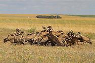 Eurasian Black Vulture - Aegypius monachus with Griffon Vultures - Gyps fulvus
