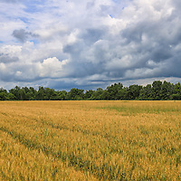 """""""Heartland Storm"""" <br /> <br /> Large clouds loom over golden wheat fields on a mid-western farm!"""