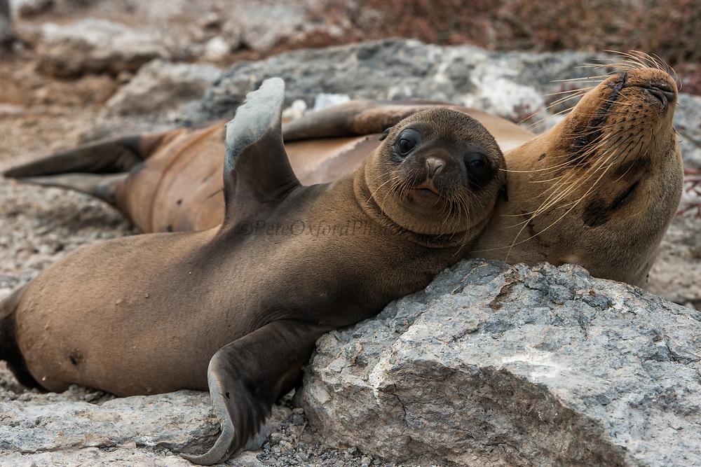 Galapagos Sealion (Zalophus wollebaeki)<br /> Mother & pup<br /> South Plazas Island<br /> GALAPAGOS ISLANDS<br /> ECUADOR.  South America