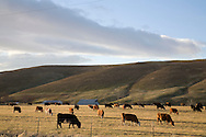 cows on pasture land grazing in late afternoon sun