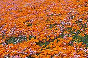 California Poppies (Eschscholtzia californica) and Blue Gilia (Gilia rigidula), Antelope Valley, California
