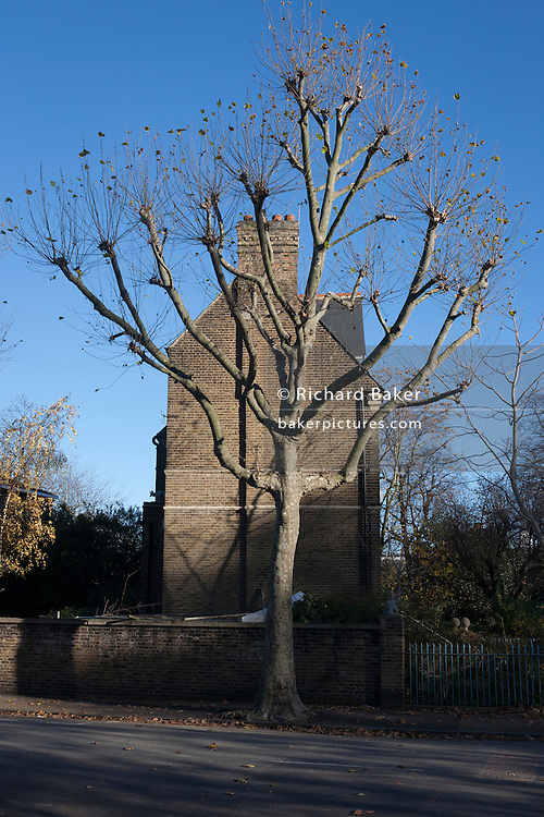 A tall Plane tree stands next to an end of terrace Victorian house on 28th November 2016, in Camberwell, south London borough of Southwark, England.