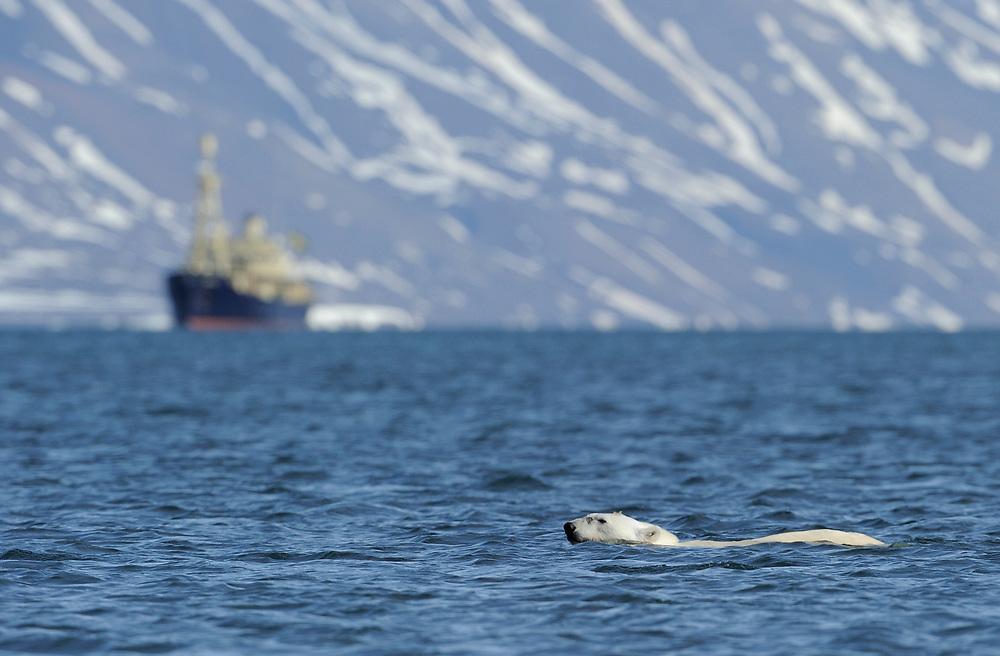 Polar Bear, Ursus maritimus, swiming, Svalbard, Norway