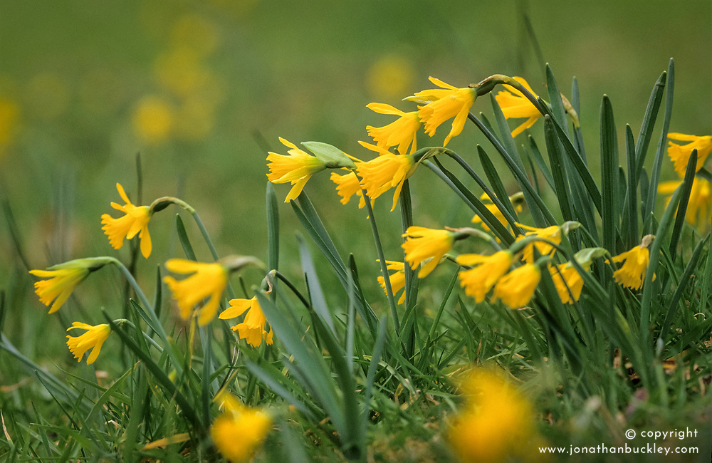 Narcissus asturiensis growing in the meadow at Great Dixter