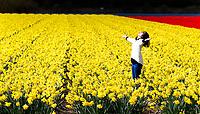 LISSE - Ondanks de nachtvorst staan de bloemen in de bollenvelden zaterdag prachtig in bloei. Veel toeristen wagen zich tussen de bloemen wat door veel kwekers niet in dank wordt afgenomen. Over een week is het bloemencorso van de Bollenstreek. COPYRIGHT KOEN SUYK