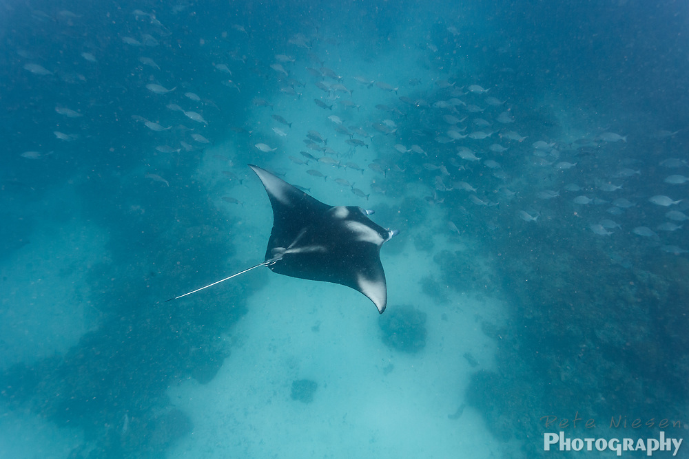 Black and white pattern of a manta rays, Mobula alfredi, spread wings as it gluides over a coral reef and through a school of fish