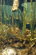 Bluegill guarding spawning bed<br /> <br /> ENGBRETSON UNDERWATER PHOTO
