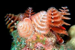 Christmas tree worms, Spirobranchus .giganteus, Towanda (City of Washington) .wreck at night, Key Largo, Florida Keys National Marine Sanctuary (Atlantic)
