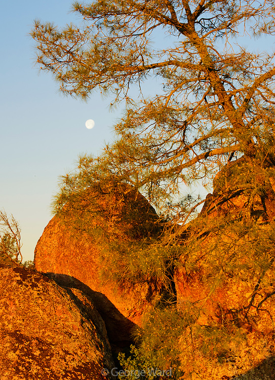 Moon, Leaning Gray Pine and Rock Formations in the High Peaks, Pinnacles National Park, California