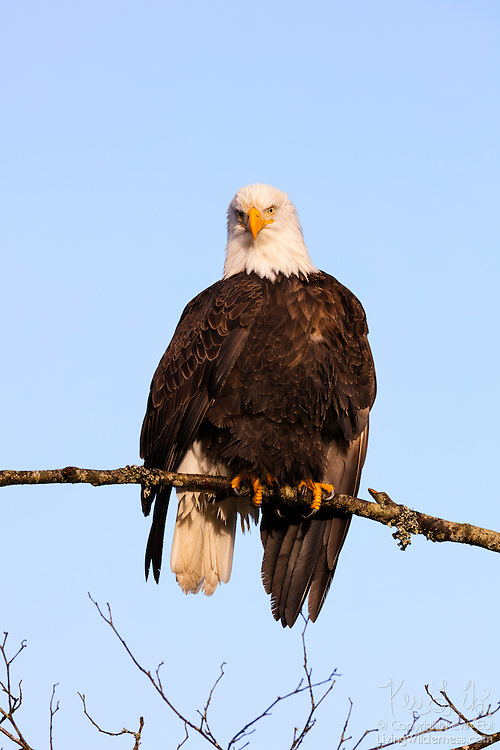An adult bald eagle (Haliaeetus leucocephalus) rests with its wings somewhat outstretched to dry them after feeding on spawned out chum salmon in the Nooksack River near Deming, Washington.