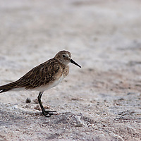 Just as we start walking through the Salar the Atacama area, we saw this little Sandpiper. This image was taken from a distance of about 3 meters.