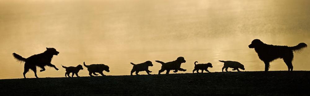 Golden retrievers with puppies