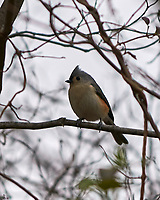 Tufted Titmouse (Baeolophus bicolor). Image taken with a Nikon D300 camera and 70-200 mm f/2.8 VR lens.